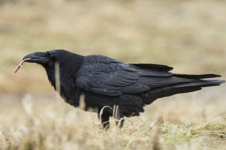 Prieš juodąją paukščių armiją - sutelktomis pajėgomis