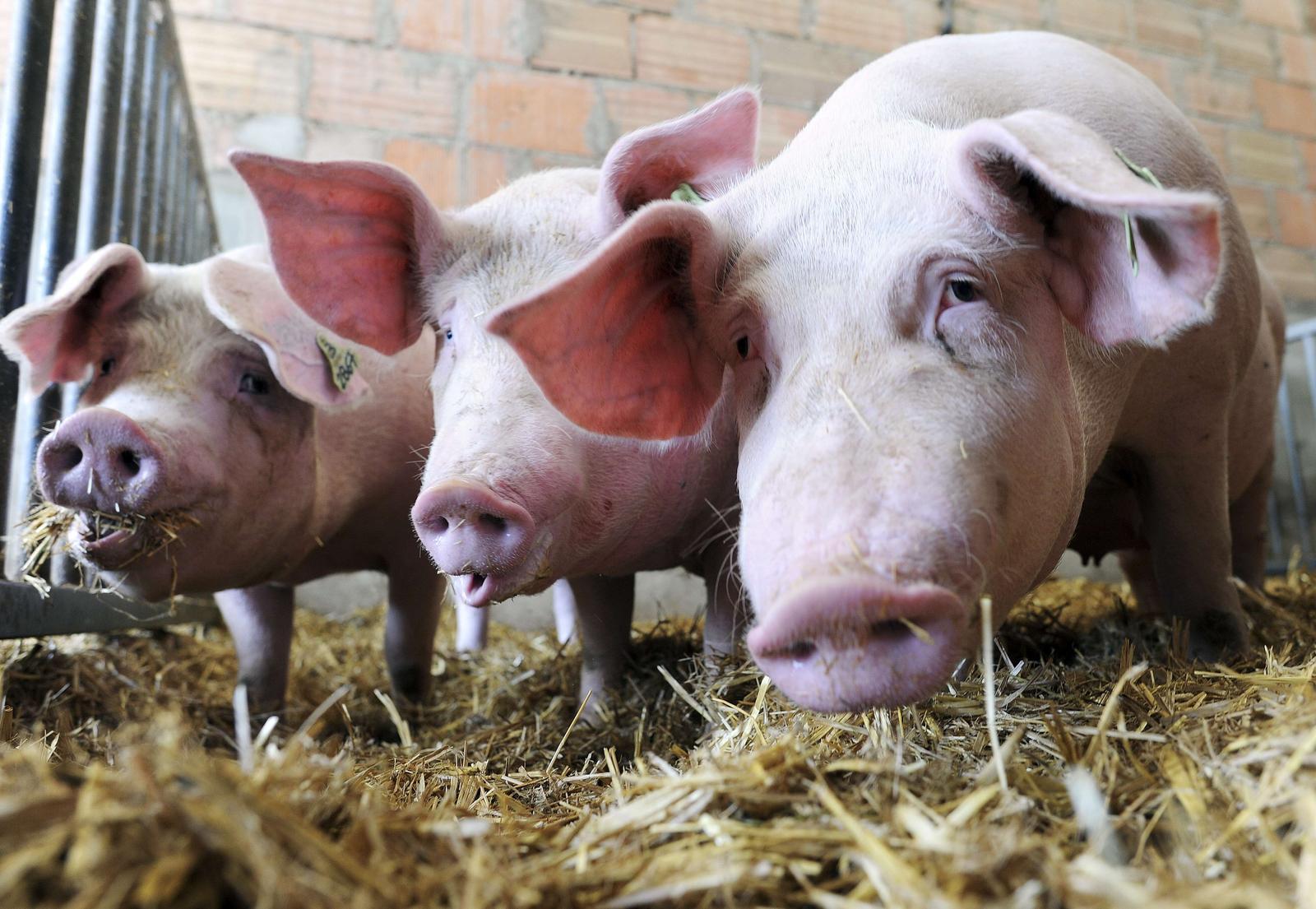 3 mažų kiaulių prekybos sistema didžiosios britanijos dvejetainių opcionų bendrovės