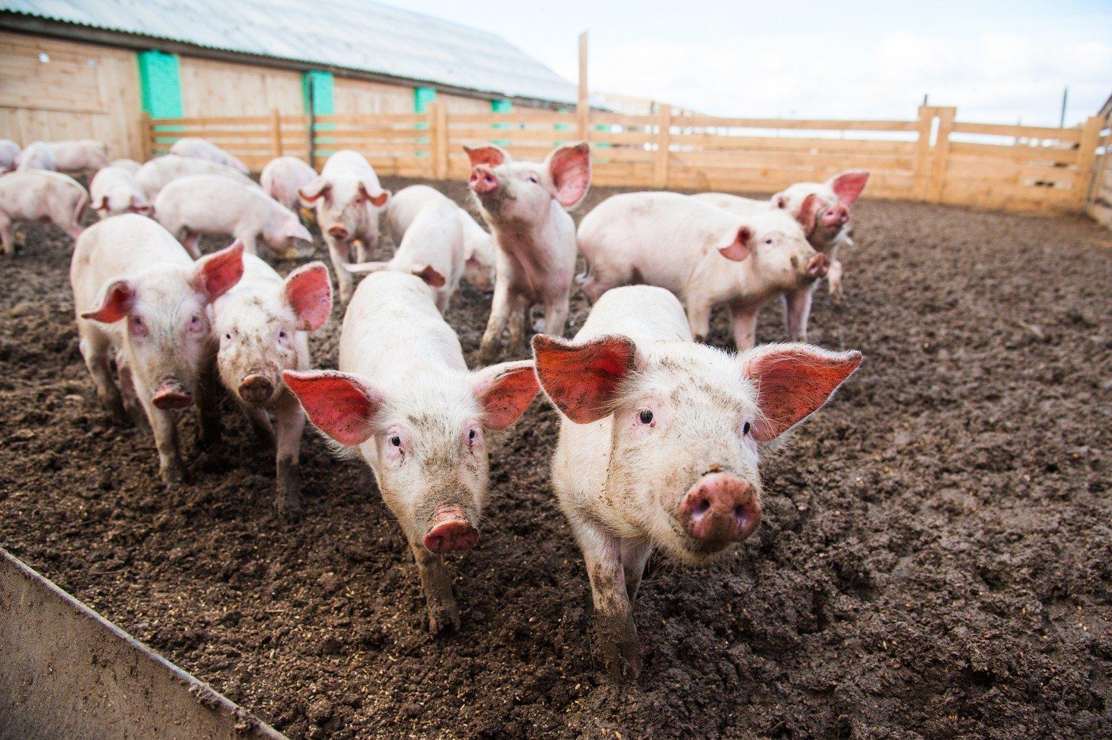 Nokdaunas lietuviškoms kiaulėms - DELFI Verslas